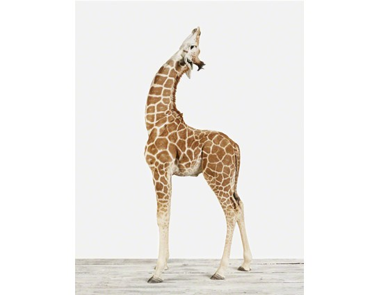 Baby Giraffe No.2 vertical