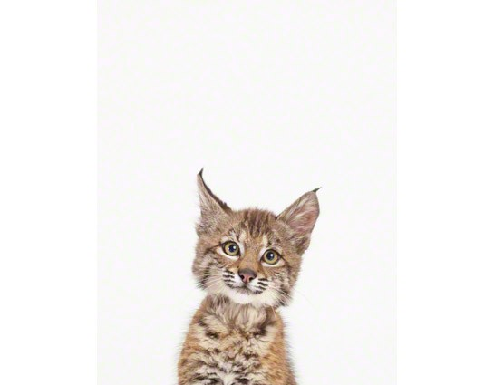 Baby Bobcat photography
