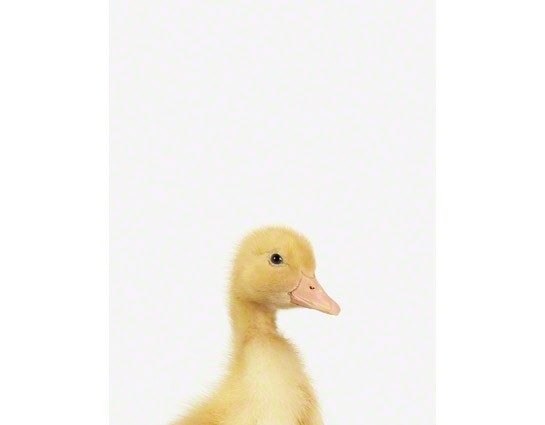 Duckling Little Darling