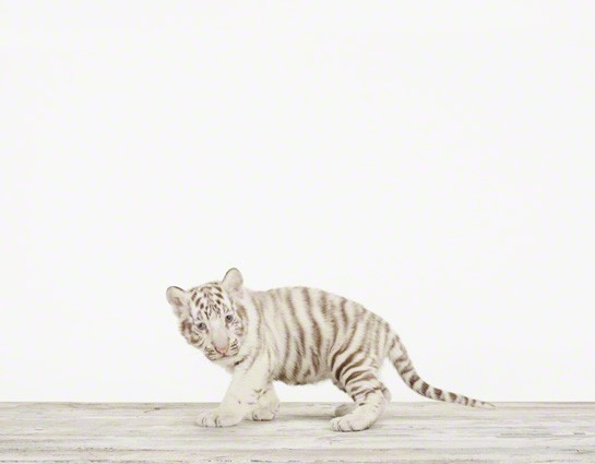 Baby White Tiger No.2